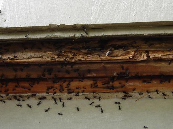 Pest-Ants.jpg