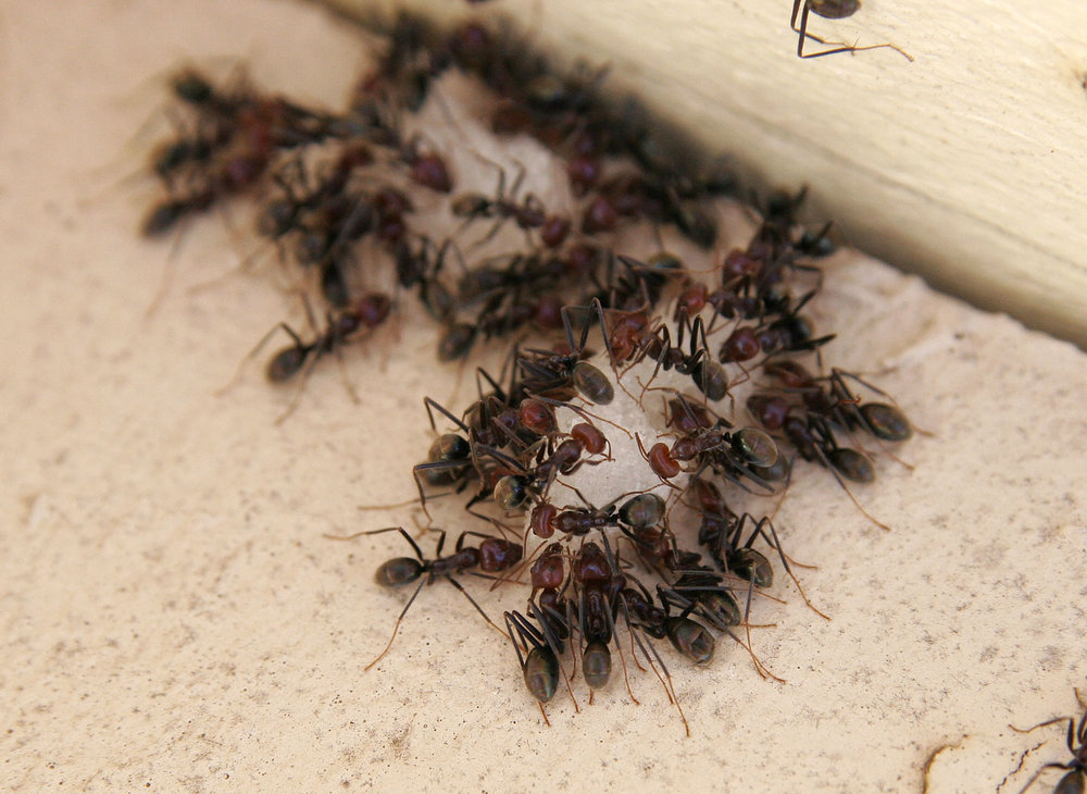 Ants_eating.jpg