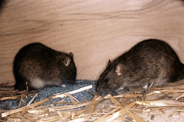 rats-and-mice-1.jpg