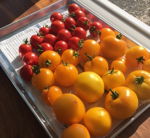 late summer tomatoes.JPG