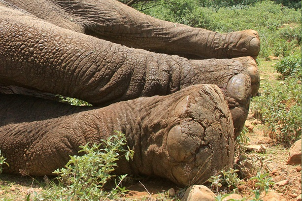 The cracked feet of an elephant bull.