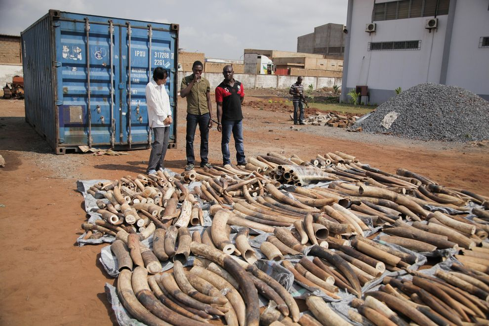 Three men stand next to a haul of ivory tusks seized by security forces at the port of Lomé in Togo.   PHOTOGRAPH BY NOEL KOKOU TADEGNON, REUTERS