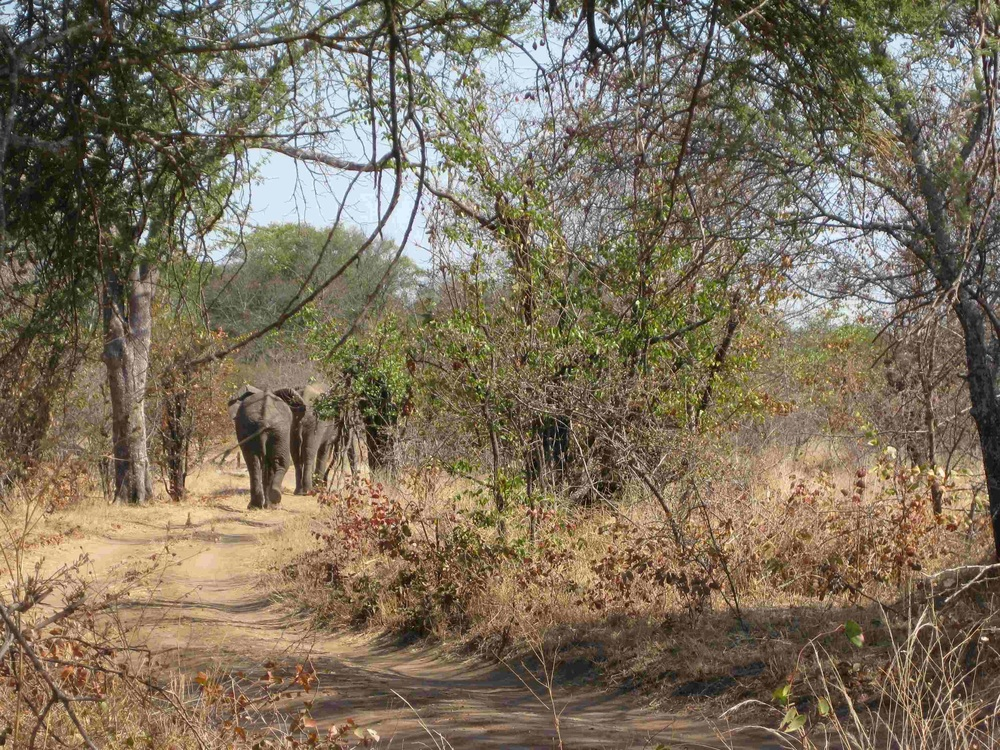 Three elephant bulls wander off down the road after walking past Fay as she stood on the edge of camp, chatting on her phone. Chipinda Pools, August 2014.