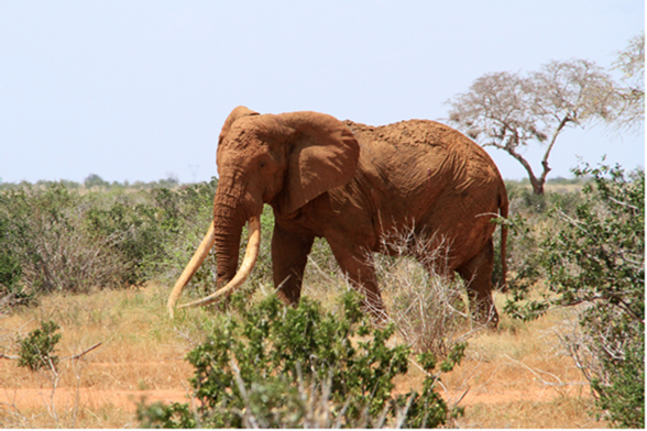 Satao sighting during the Tsavo census.