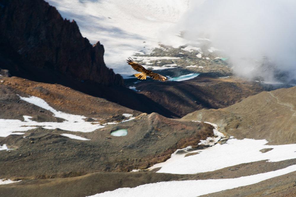 Attack by an Andean Falcon - Cordón de Plata, Argentina - ~16,000' (4,877m)