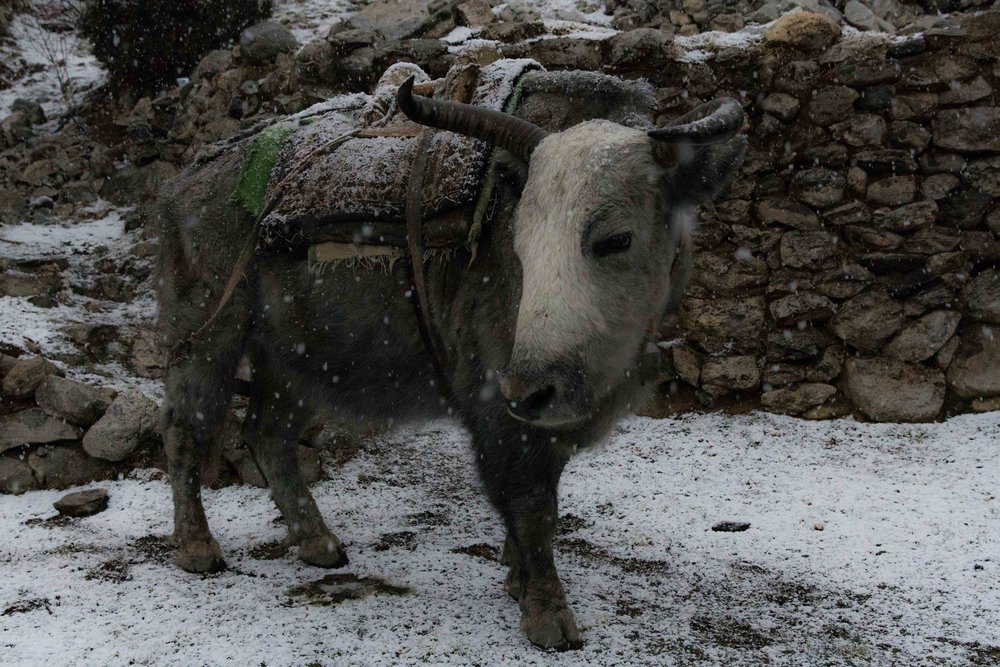 Yak in Pangboche at the start of a thunder snow storm
