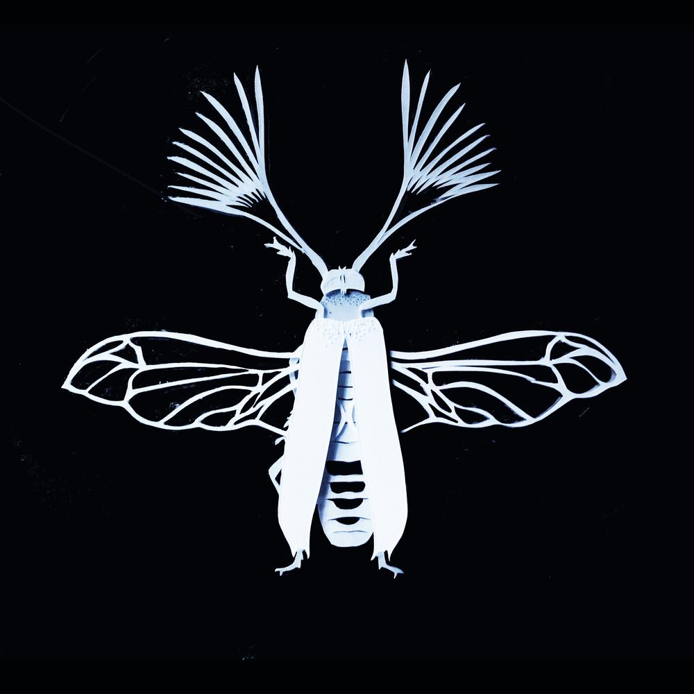 Psygmatocerus wagleri - papercut