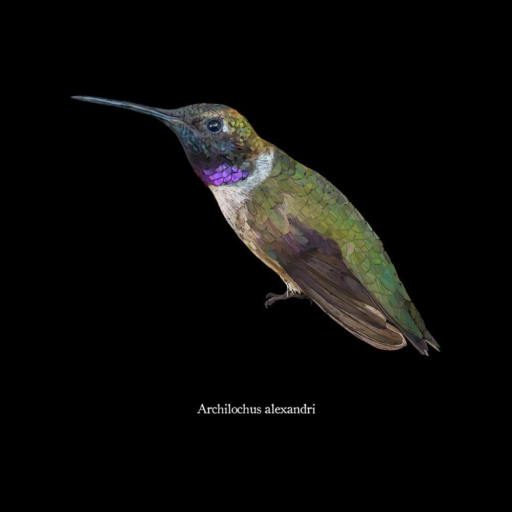 Archilochus alexandri