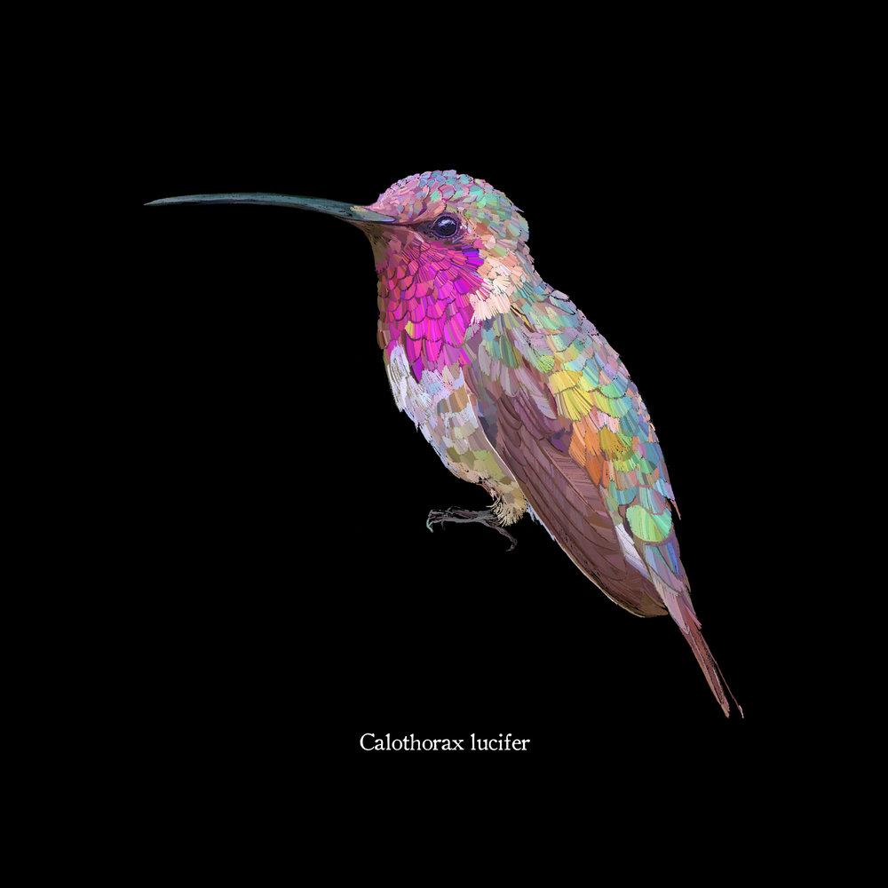 Calothorax lucifer