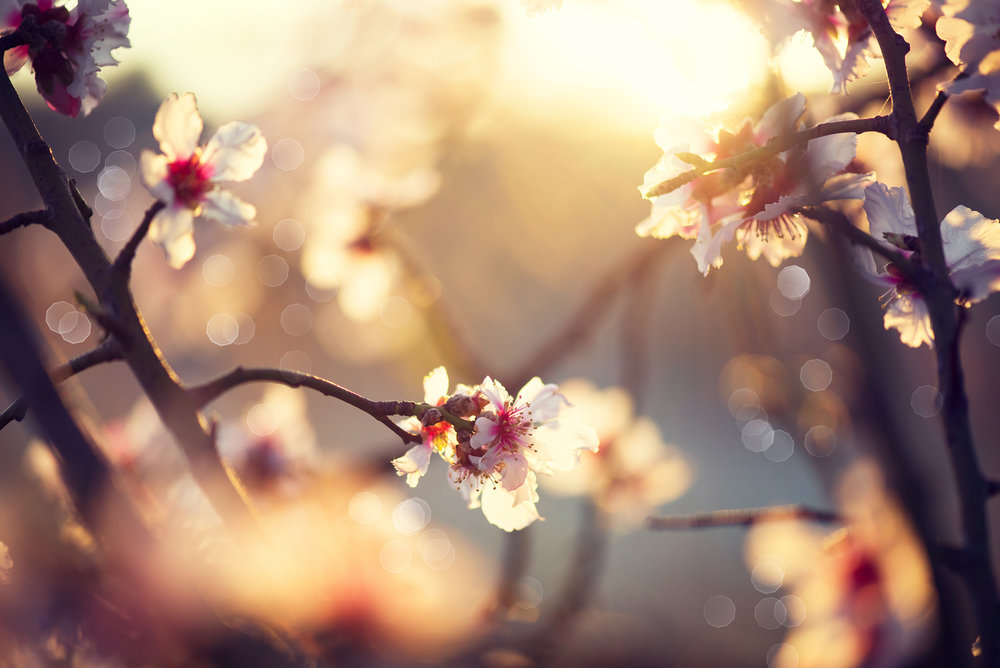 bigstock-Spring-blossom-background-Bea-84861653.jpg