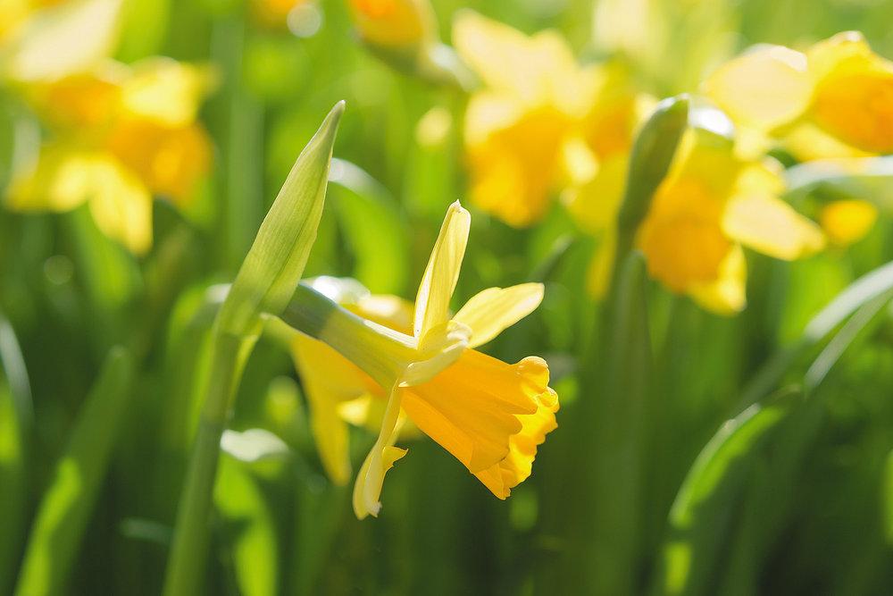 WFF-Spring-Equinox-Daffodil.jpg