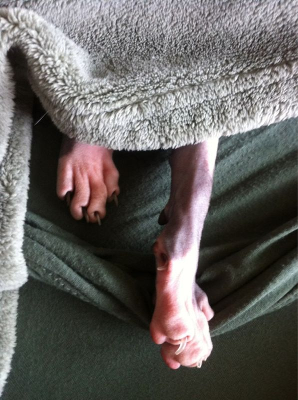 "Hairless cat photo of the moment:  the ""scrawny legs"" feature of this deluxe blanket cost extra."