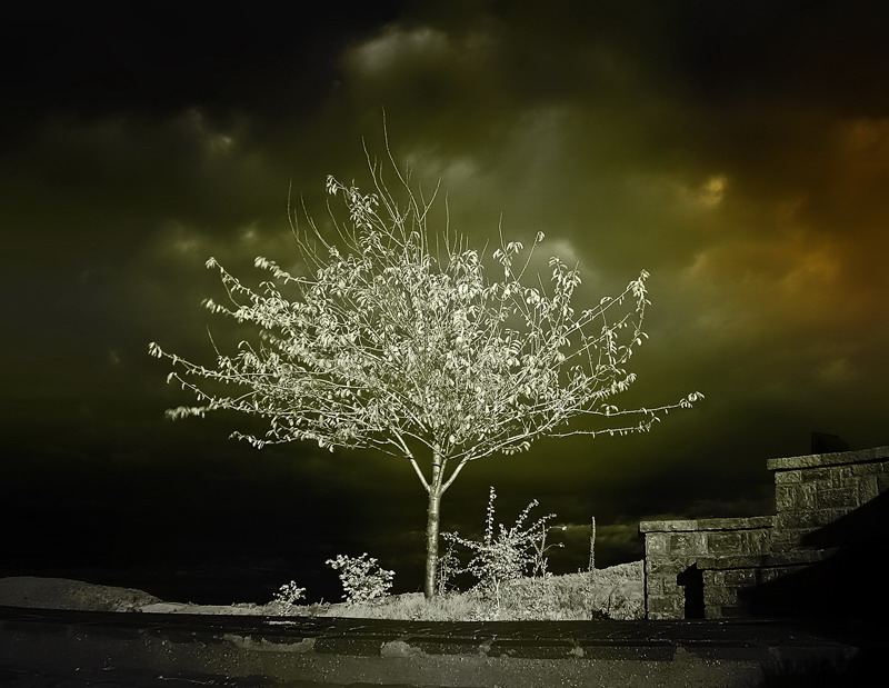 From a gallery of colorized infared photos of trees.    via  surfwithberserk.com
