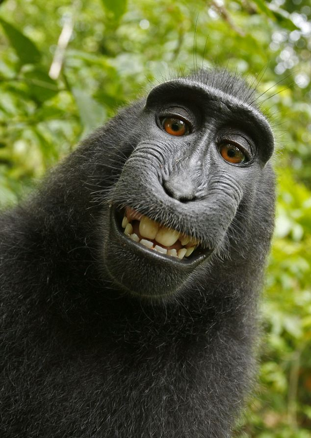 I would suggest that not only is this  the greatest self-portrait photo  of a monkey ever taken, it is also the greatest photo of a monkey ever taken.   You can argue it with me, but you will lose.