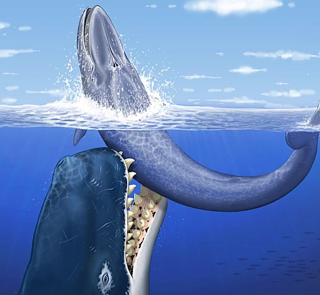 "Artist's rendering of an acient ""leviathan"" whale that ate other whales.  Proving once again that ancient history was all the more awesome than its modern counterpart.   via   www.boingboing.net"