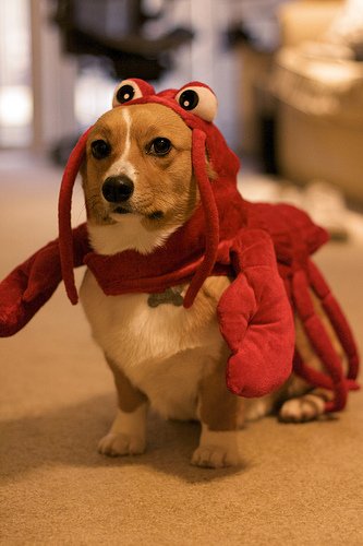 A dog in a lobster suit.   From  an entire gallery  of the same.   via  s-ak.buzzfed.com
