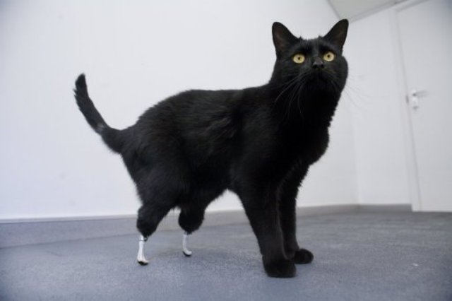 Cat with bionic, prosthetic legs.    via   www.wired.com