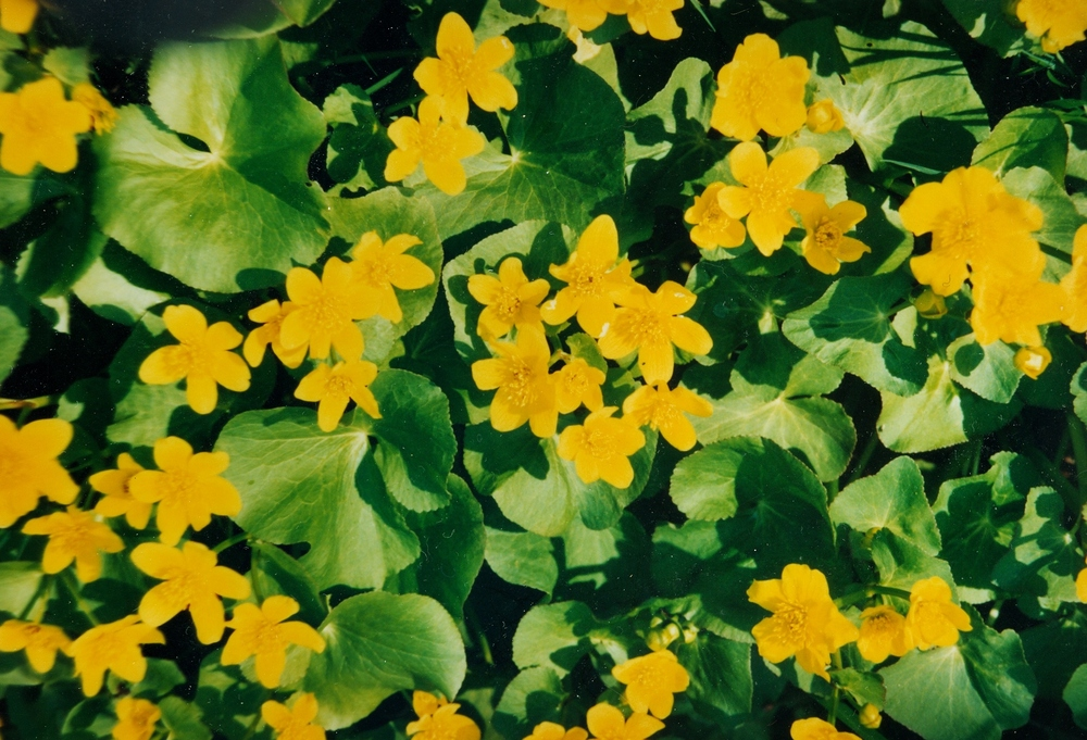 Nayler's Common Marsh Marigolds.jpg