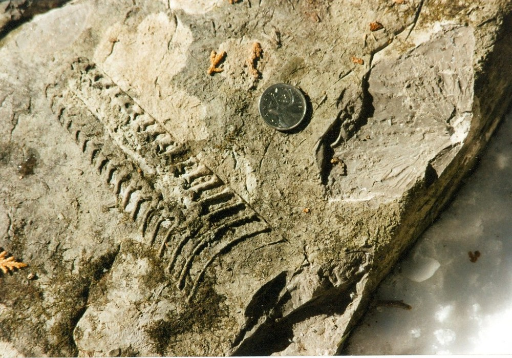 Nayler's Common  fossil (Cephlapod).jpg