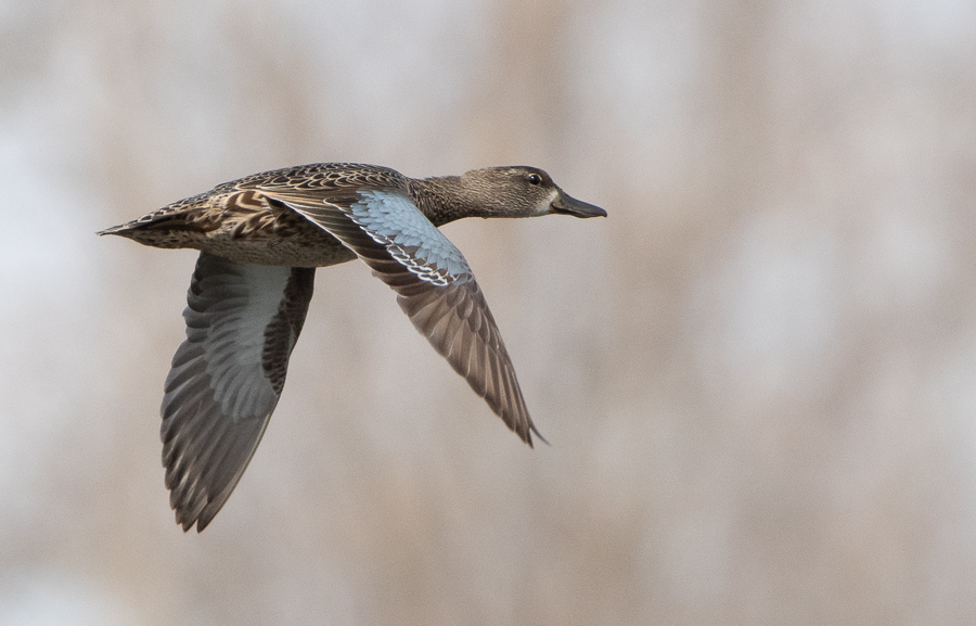 Blue-winged Teal -Brighton Constructed Marsh