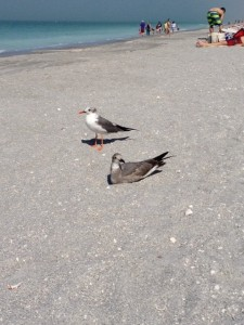 A juxtaposition of a young gull (foreground) and a mature adult on Sunset Beach in Captiva to show the difference in age in this species. Note - in a few more weeks the adult should gain the full black hood.