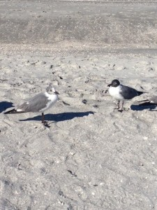 Here we see two adult laughing gulls with the bird on the right showing us a beautiful example of the black hood.
