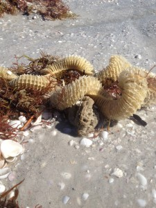 Lightning Whelk egg case washed up in the wrack line