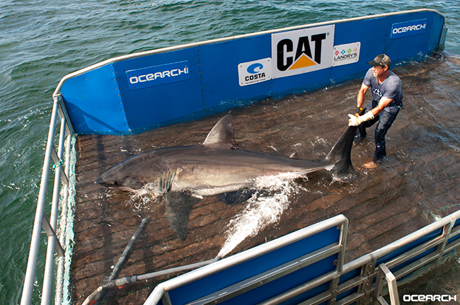 "Betsy is a 12'7"" 1400 pound immature female white shark. She was originally tagged off of Cape Cod in August of 2013. Since being tagged almost a year ago, she has traveled out into the Atlantic and then moved down the coast and around the bend of Florida. Betsy has traveled over 3492 miles altogether in a year. White sharks can swim up to 35 mph, but normally cruise at much slower rates. Betsy is the first tagged white shark to be tracked in the Gulf."