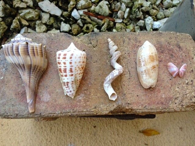 From left to right: Lightning Whelk, Alphabet Cone, West Indian Worm Shell, Lettered Olive, and Coquina