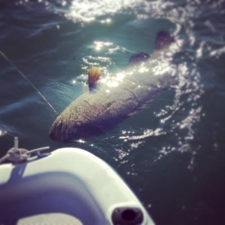 A small goliath grouper caught (and promptly released) by a Sanibel Sea School staff member!
