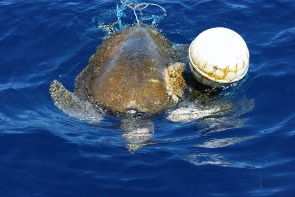 A sea turtle is found entangled in a buoy line...