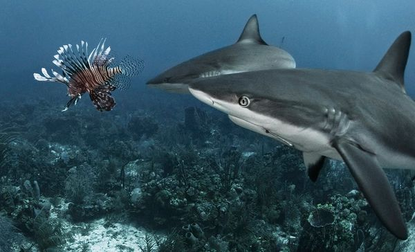 Sharks examine a foreign visitor to their habitat.