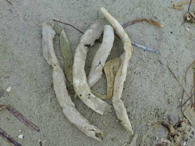 Empty parchment worm housing tubes washed up on the beach. Photo: iloveshelling.com