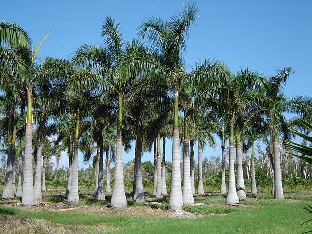 5 Sanibel Palm Trees — Sanibel Sea School
