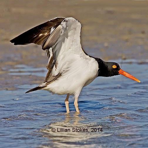 http://stokesbirdingblog.blogspot.com/