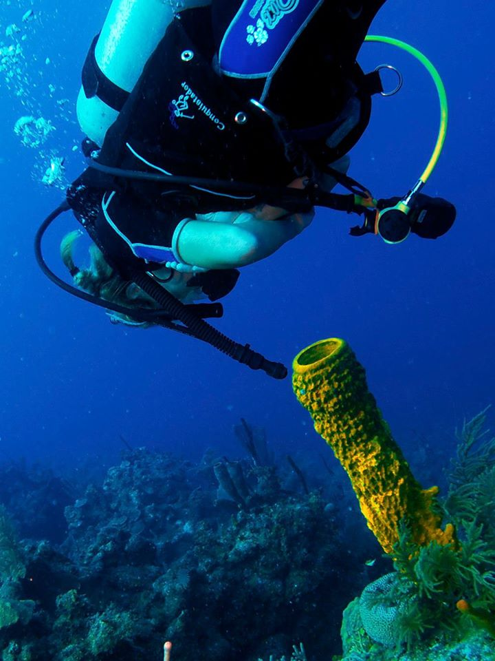 A diver examines a yellow tube sponge (Aplysina fistularis).