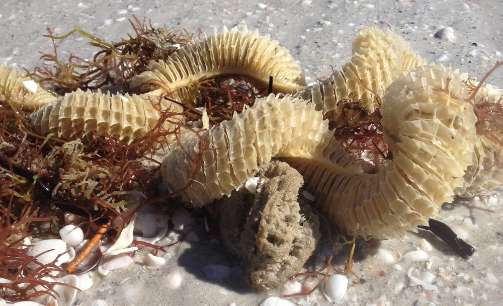 Here's a lightning whelk egg case tangled among algae in the wrack line.