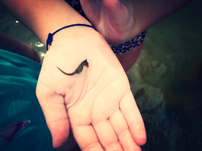 A tiny seahorse found by the causeway islands.