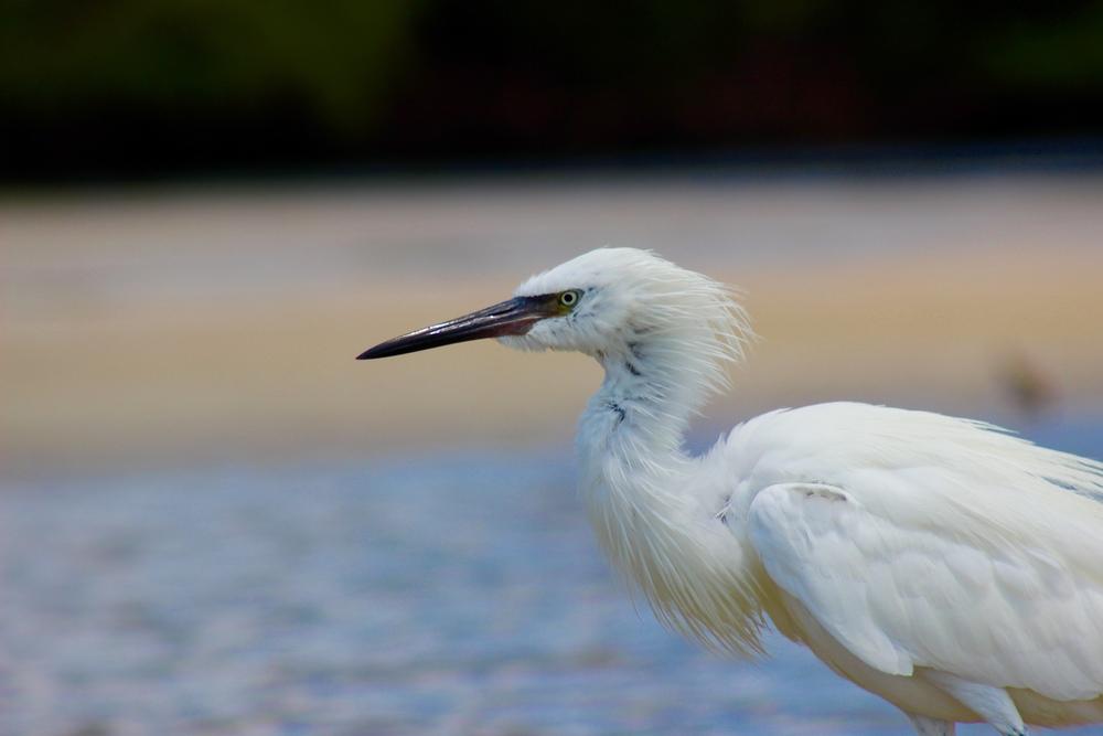 Reddish Egret - White Morph