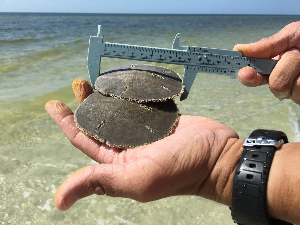Researchers measure adult live sand dollars.
