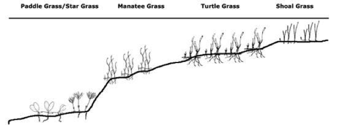 The relative depths at which various species of seagrass like to grow.