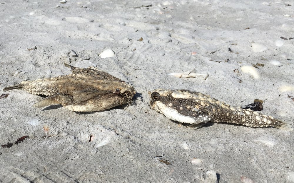 Two batfish found on the beach near Sundial Resort on Sanibel.