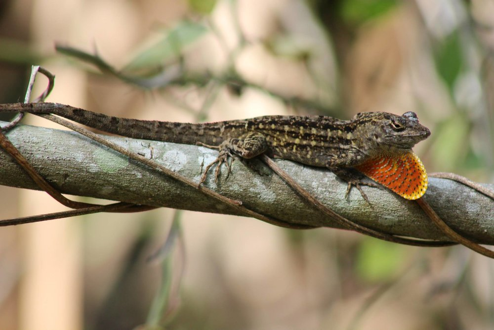 The brown anole is an invasive competitor to the green anole.