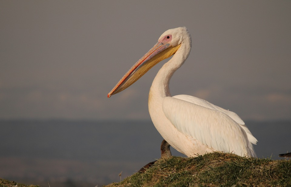 White Pelicans, winter residents of Sanibel Island, exhibit different behaviors and habits than Brown Pelicans.