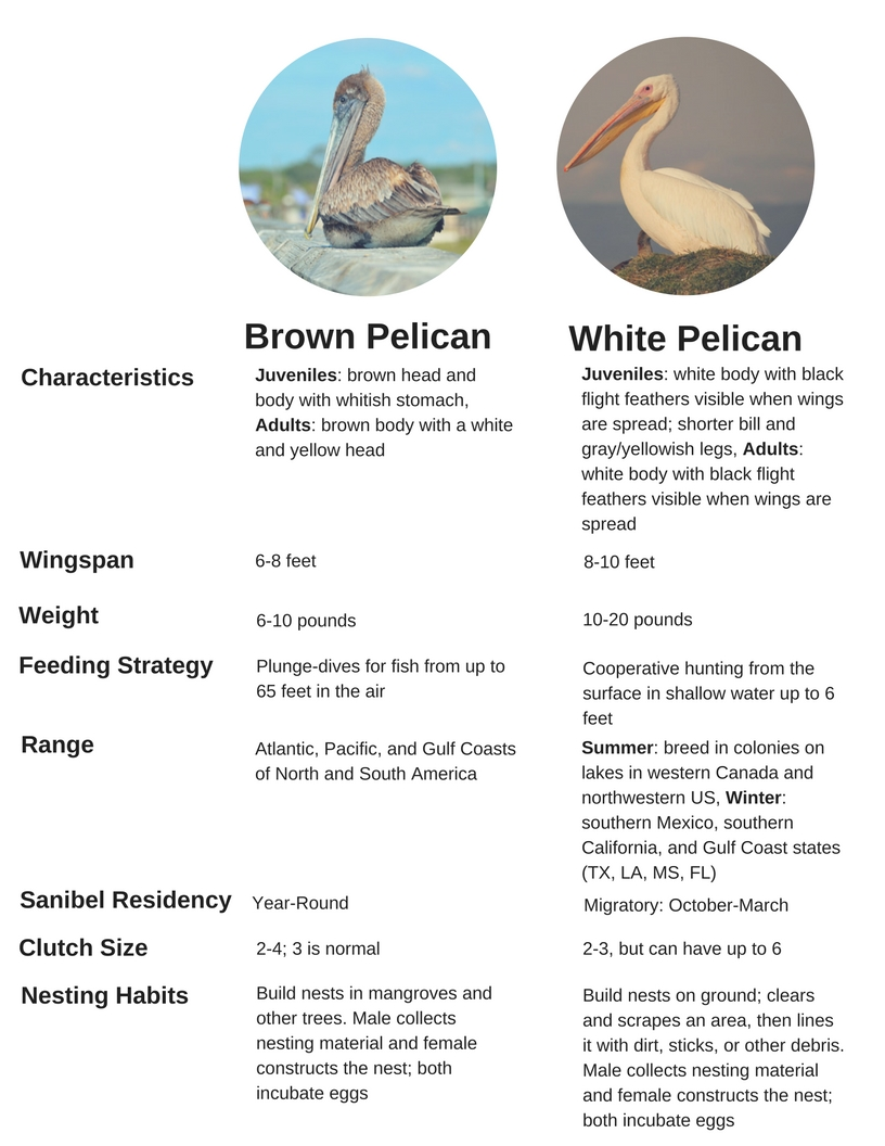 Our pelican fact cheat sheet.  Click here  to download a printable PDF.