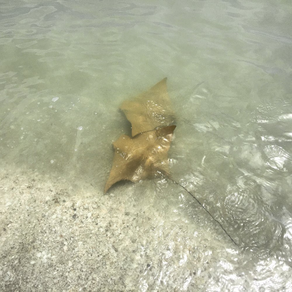 Cownose rays photographed on Sanibel Island.