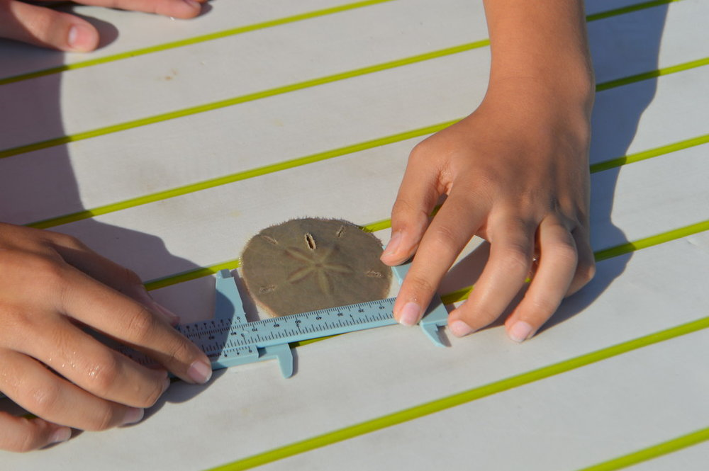 Students measured sand dollars during their research day.