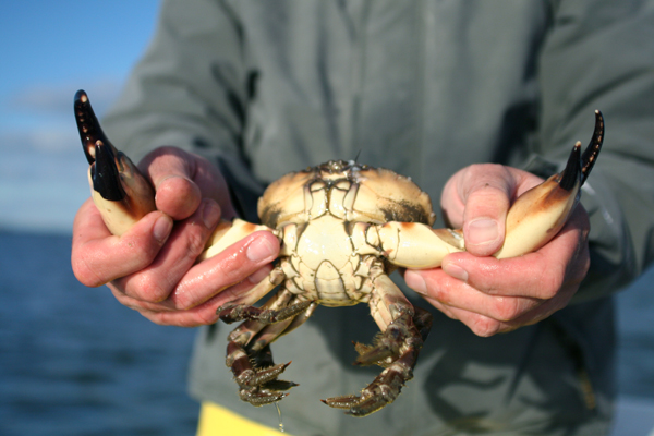 A stone crab can re-grow its claw after it is harvested by a fisherman (or lost while digging). Image: Florida Sportsman