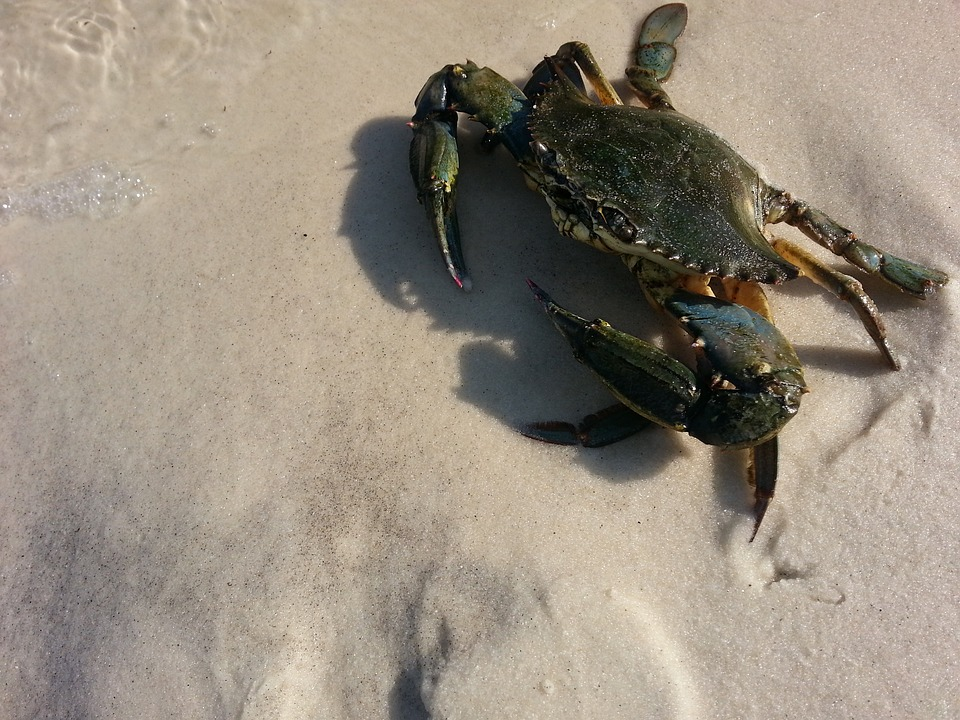 Blue crabs range from Massachusetts to Argentina.