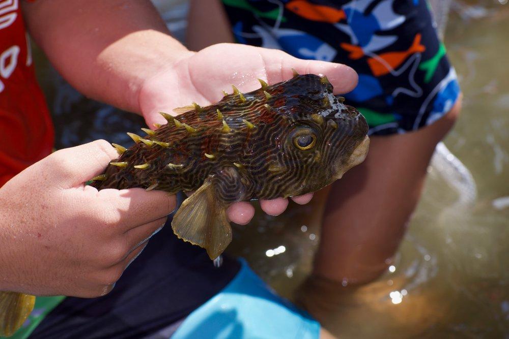 A striped burrfish.